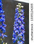 delphinium is a genus of about... | Shutterstock . vector #1335124205