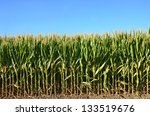 Closeup Of A Field Of Corn...