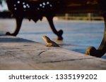 tree lizard on the floor | Shutterstock . vector #1335199202
