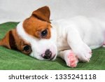 Stock photo puppy sweetly sleeping on the couch the dog fell ill funny puppy jack russell terrier dog is 1335241118