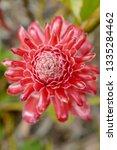 strophanthus gratus flowering | Shutterstock . vector #1335284462