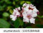 strophanthus gratus flowering | Shutterstock . vector #1335284468