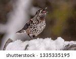 spotted nutcracker  nucifraga... | Shutterstock . vector #1335335195