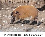 red river hog  potamochoerus... | Shutterstock . vector #1335337112