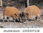 red river hog  potamochoerus... | Shutterstock . vector #1335337118