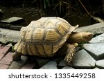 Stock photo the african spurred tortoise also called the sulcata tortoise is a species of tortoise this is one 1335449258