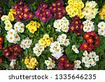Primrose  Primula . Colorful...