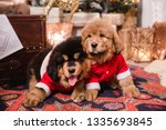 Stock photo two puppies of tibetan mastiff red puppy and black and tan puppy puppies big dogs puppies on new 1335693845