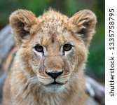 close up lion cub portrait in... | Shutterstock . vector #1335758795