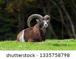 big european moufflon in the... | Shutterstock . vector #1335758798
