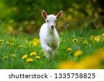 white baby goat standing on... | Shutterstock . vector #1335758825