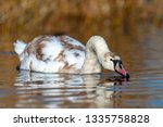 swan on blue lake water in... | Shutterstock . vector #1335758828