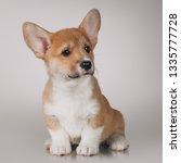 Stock photo welsh corgi pembroke puppy 1335777728