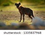 spotted hyena  crocuta crocuta  ... | Shutterstock . vector #1335837968