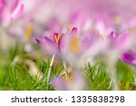 close up of pink crocuses on a...   Shutterstock . vector #1335838298