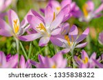 close up of pink crocuses on a...   Shutterstock . vector #1335838322