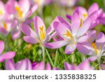 close up of pink crocuses on a...   Shutterstock . vector #1335838325