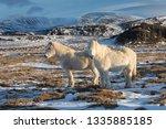 white icelandic horses. the...   Shutterstock . vector #1335885185