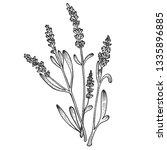 lavandula lavender flower plant ... | Shutterstock .eps vector #1335896885
