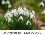 close up of common snowdrops ... | Shutterstock . vector #1335901412