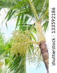Small photo of This tree is also called Manila Palm or in Latin Adonidia Merrillii