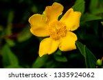 Close Up Of Hypericum Bush In...