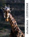 giraffe portrait   giraffa  | Shutterstock . vector #1335933068