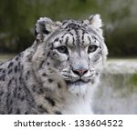 Peaceful Look Of A Snow Leopard.