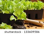Gardening still life of iceberg head lettuce plants in starter pots with detail of roots in foreground.  Closeup with shallow dof. - stock photo