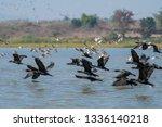 various water birds at bueng... | Shutterstock . vector #1336140218