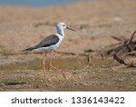 black winged stilt on the sand  ... | Shutterstock . vector #1336143422