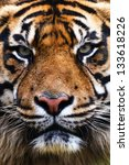 tiger close up portrait | Shutterstock . vector #133618226