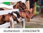 juvenile goat kids behind white ... | Shutterstock . vector #1336226678
