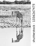 a namibian giraffe  giraffa... | Shutterstock . vector #1336267475