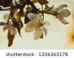 beautiful blooming apple trees... | Shutterstock . vector #1336363178