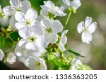 flowers of the cherry blossoms... | Shutterstock . vector #1336363205