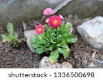 small bunch of common daisy or... | Shutterstock . vector #1336500698