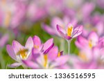 close up of pink crocuses on a...   Shutterstock . vector #1336516595