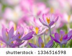 close up of pink crocuses on a...   Shutterstock . vector #1336516598