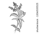 mint spearmint plant sketch... | Shutterstock .eps vector #1336535525
