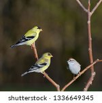 Two Male Goldfinches And A...