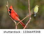 Male Northern Cardinal And...