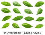 green tea leaf isolated on...   Shutterstock . vector #1336672268