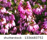Closeup Of Pink Flowers On A...