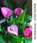trumpet lily arum flowers  ... | Shutterstock . vector #1336763558