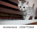 Silver Classic Tabby Male...