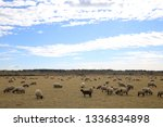 outdoor view of flock of sheep... | Shutterstock . vector #1336834898