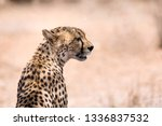 Close Up Of African Cheetah...