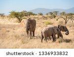 Dry Season Female Elephant On...