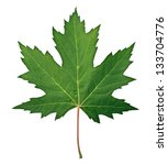 green maple leaf as a spring... | Shutterstock . vector #133704776
